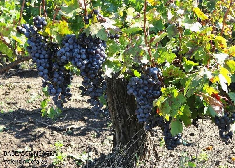 Babeasca neagra grape varieties - Romanian cherry tree varieties ...