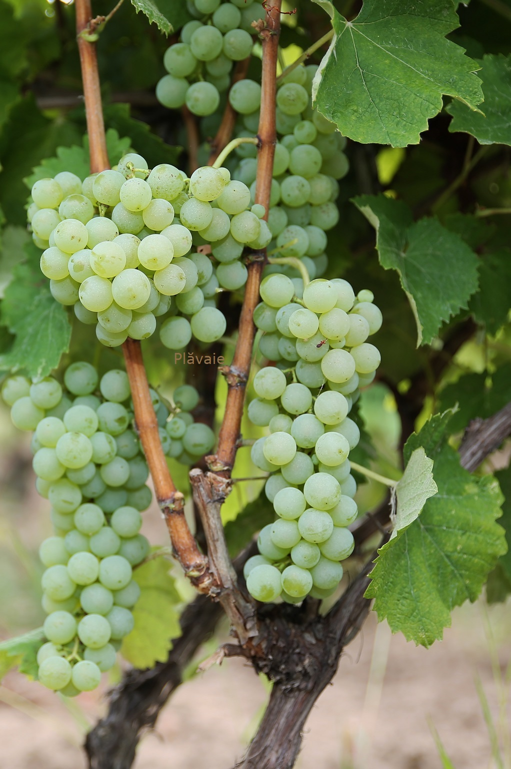 Plavaie Grape