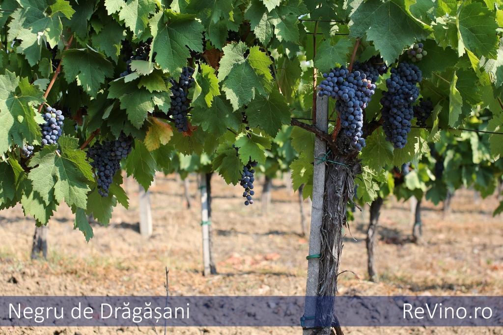 Negru de dragasani grape varieties - Romanian cherry tree varieties ...